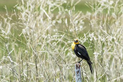 Photograph - Yellow-headed Blackbird, No. 3 by Belinda Greb