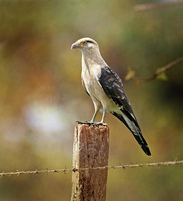 Photograph - Yellow-headed Caracara Costa Rica by Joan Carroll
