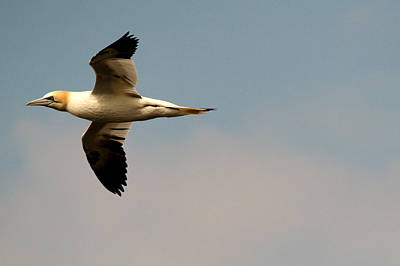 Yellow Headed Gull In Flight Art Print