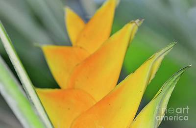 Photograph - Yellow Heliconia by D Davila