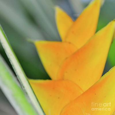Photograph - Yellow Heliconia - Hawaii Plants Flowers  by D Davila