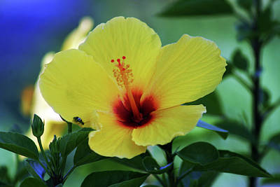 Photograph - Yellow Hibiscus 3151 H_2 by Steven Ward