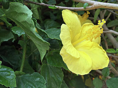 Photograph - Yellow Hibiscus by Aimee L Maher Photography and Art Visit ALMGallerydotcom