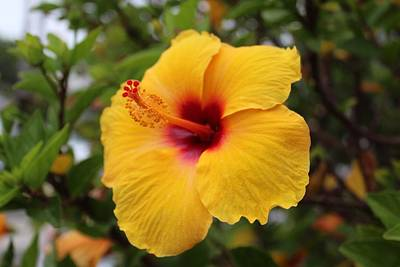 Photograph - Yellow Hibiscus by Brian Eberly
