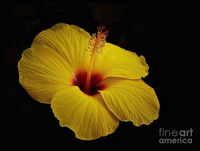 Photograph - Yellow Hibiscus by Corlyce Olivieri