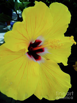 Photograph - Yellow Hibiscus by D Hackett