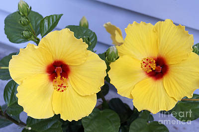 Photograph - Yellow Hibiscus Flowers by John  Mitchell