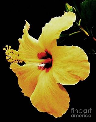 Framed Matted Photograph - Yellow Hibiscus by Marsha Heiken