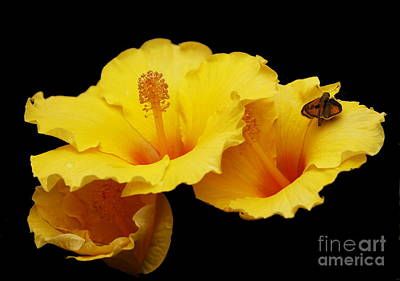 Photograph - Yellow Hibiscus On Black by Myrna Bradshaw