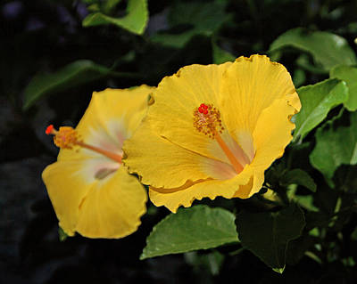Yellow Hibiscus Print by Sandy Keeton