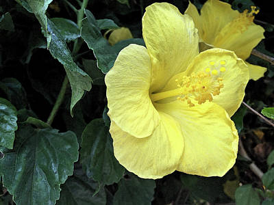 Photograph - Yellow Hibiscus Watercolor by Aimee L Maher Photography and Art Visit ALMGallerydotcom