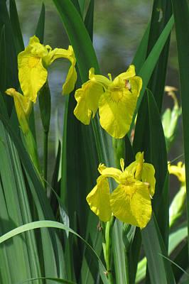 Photograph - Yellow Iris by Ann Bridges