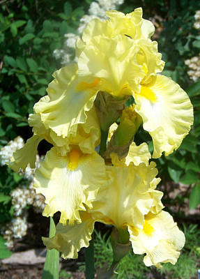 Yellow Iris At Fellows Riverside Garden Art Print by Lois Mountz