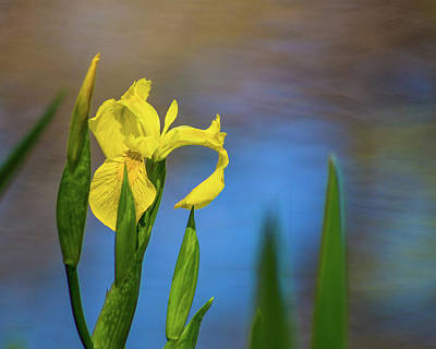 Photograph - Yellow Iris By Pond by Lynne Jenkins