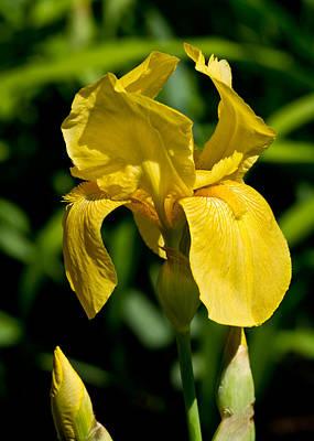 Yellow Iris Art Print by Edward Myers