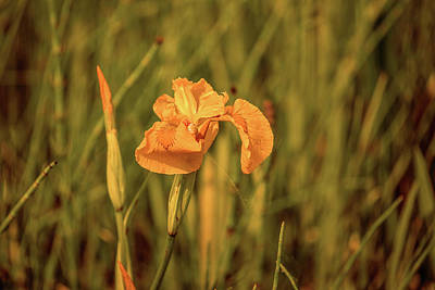 Photograph - Yellow Iris #g4 by Leif Sohlman