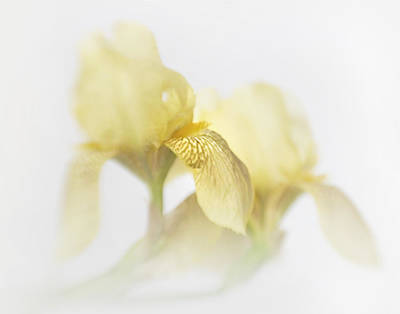 Photograph - Yellow Iris Impressions by David and Carol Kelly
