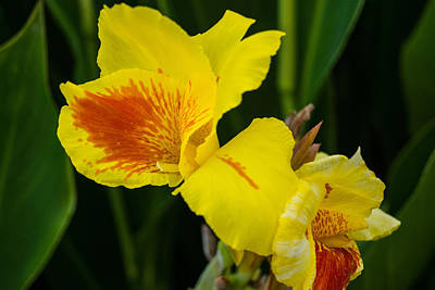 Photograph - Yellow Iris by James Gay