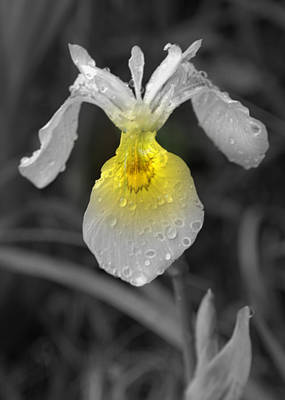 Photograph - Yellow Iris by Kimberly Woyak