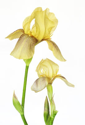 Photograph - Yellow Iris Pair by David and Carol Kelly