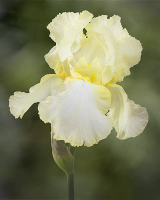 Photograph - Yellow Iris Portrait by Patti Deters