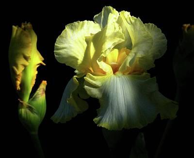 Photograph - Yellow Iris by Rowana Ray