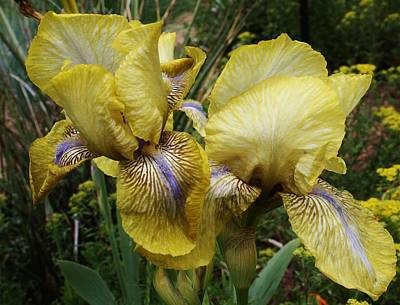 Photograph - Yellow Irises by Bruce Bley
