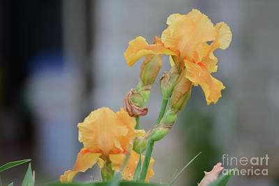 Photograph - Yellow Irises  by Ruth Housley