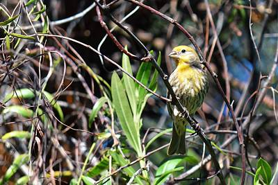 Photograph - Yellow Is Best - House Finch by KJ Swan