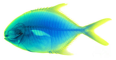 Photograph - Yellow Jack, Caranx Bartholomaei, X-ray by Ted Kinsman