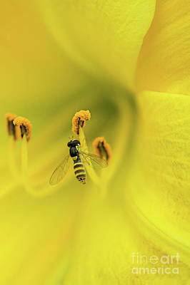 Photograph - Yellow Jacket Bee Polilen by David Zanzinger