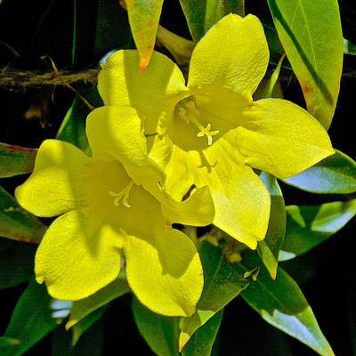 Yellow Jessamine Photograph - Yellow Jessamine At Pilgrim Place In Claremont-california by Ruth Hager