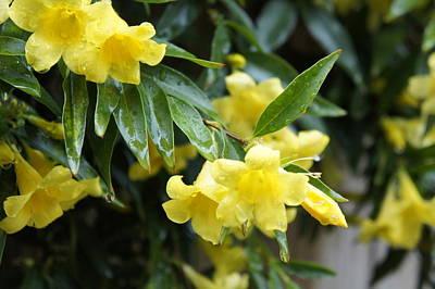 Yellow Jessamine Photograph - Yellow Jessamine by Robbie Bellamy