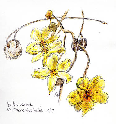 Drawing - Yellow Kapok by Anne Huth