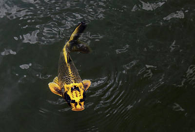 Photograph - Yellow Koi 5 by Mary Bedy