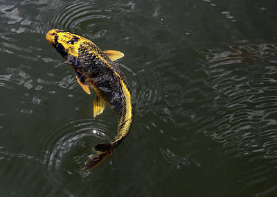 Photograph - Yellow Koi 6 by Mary Bedy