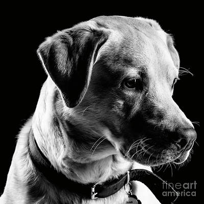 Photograph - Yellow Lab Black And White by Gunnar Orn Arnason