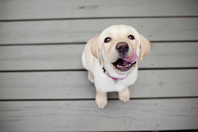 One Dog Photograph - Yellow Lab Puppy by Image by Erin Vey