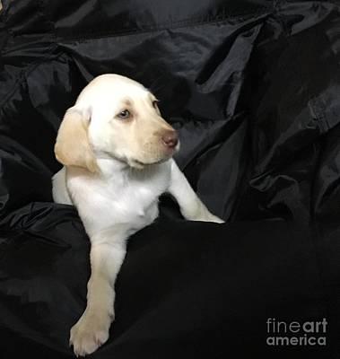 Photograph -  Yellow Lab Puppy Sadie by Jeffrey Koss