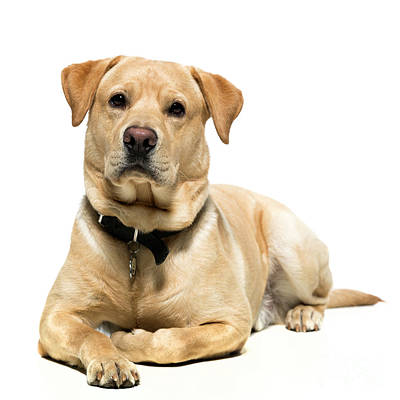 Photograph - Yellow Labrador by Gunnar Orn Arnason