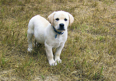 Photograph - Yellow Labrador Puppy At Wanting To Play. by Waterdancer