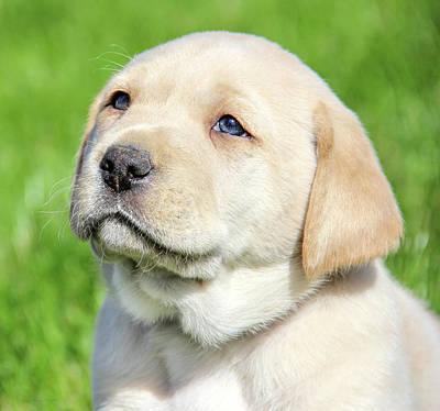Photograph - Yellow Labrador Retriever Puppy Gaze by Jennie Marie Schell