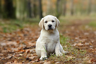 Photograph - Yellow Labrador Retriever Puppy  by Waldek Dabrowski