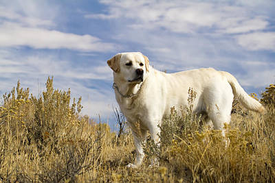 Photograph - Yellow Labrador Retriever by Waterdancer