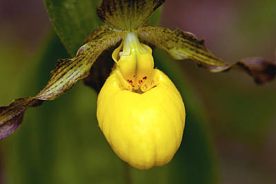 Photograph - Yellow Lady's Slipper 3 by Jack R Perry