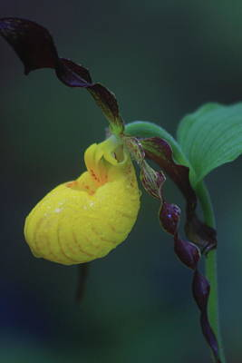 Photograph - Yellow Lady's Slipper Orchid by John Burk