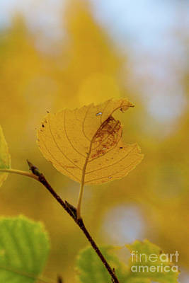 Photograph - Yellow Leaf by Steve Triplett