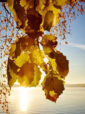Photograph - Yellow Leaves Of Aspen In The Morning Sun by Jouko Lehto