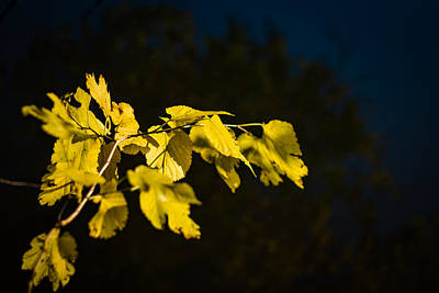 Photograph - Yellow Leaves by Randy Bayne