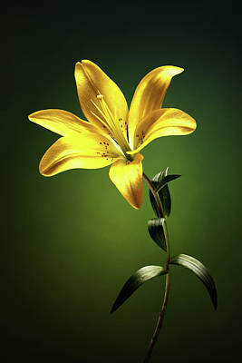 Lilies Photos - Yellow lilly with stem by Johan Swanepoel